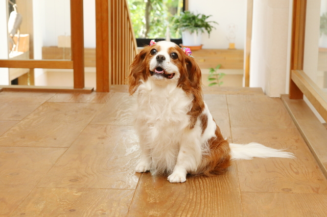 犬やネコ『ペットのヘルニア防止用』フロアコーティング  サービス開始から依頼件数3,600件を突破