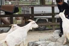 千本松牧場のヤギ
