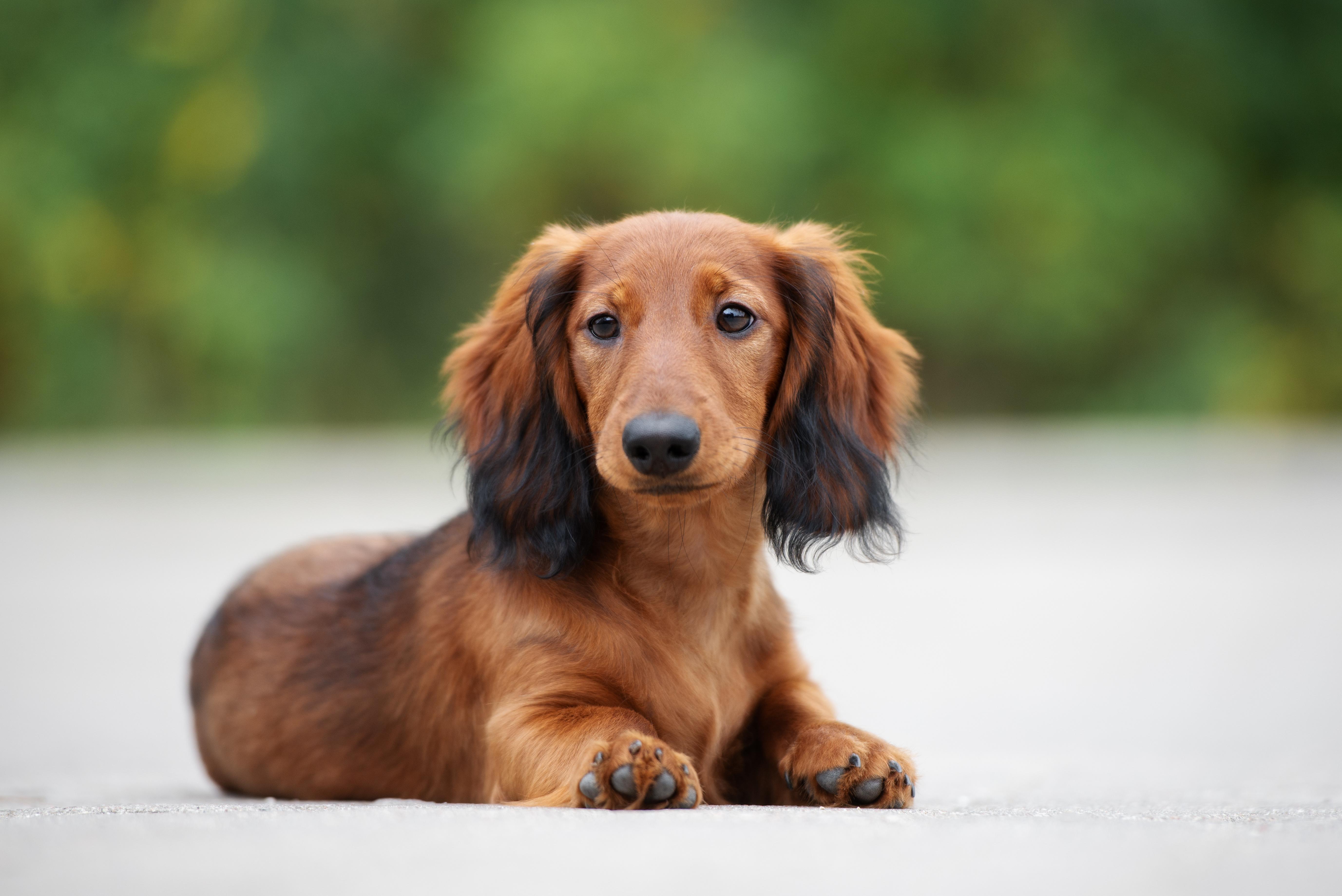ミニチュアダックスの特徴や性格、飼い方について