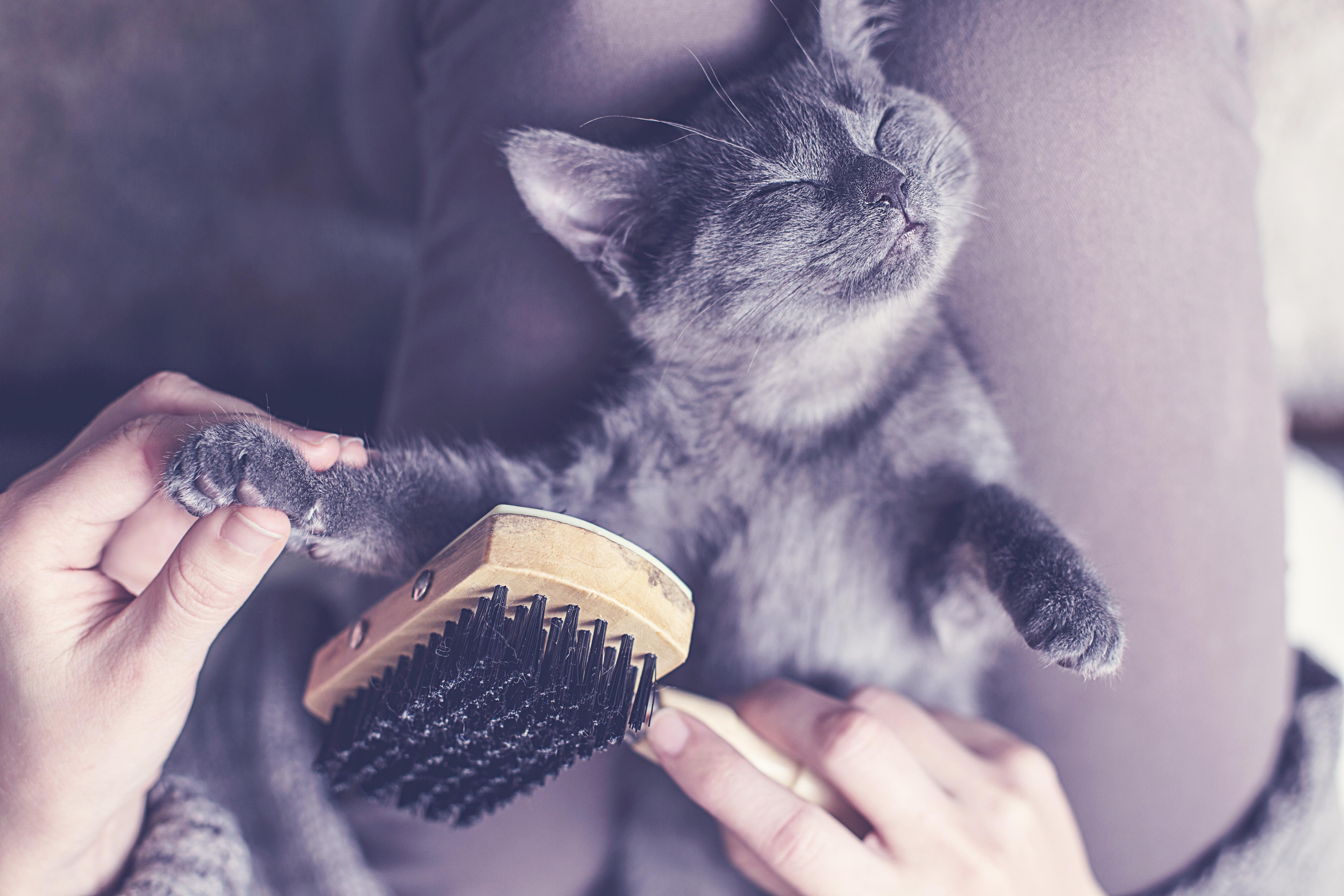 猫のかわいい動画『ロシアンブルー』編