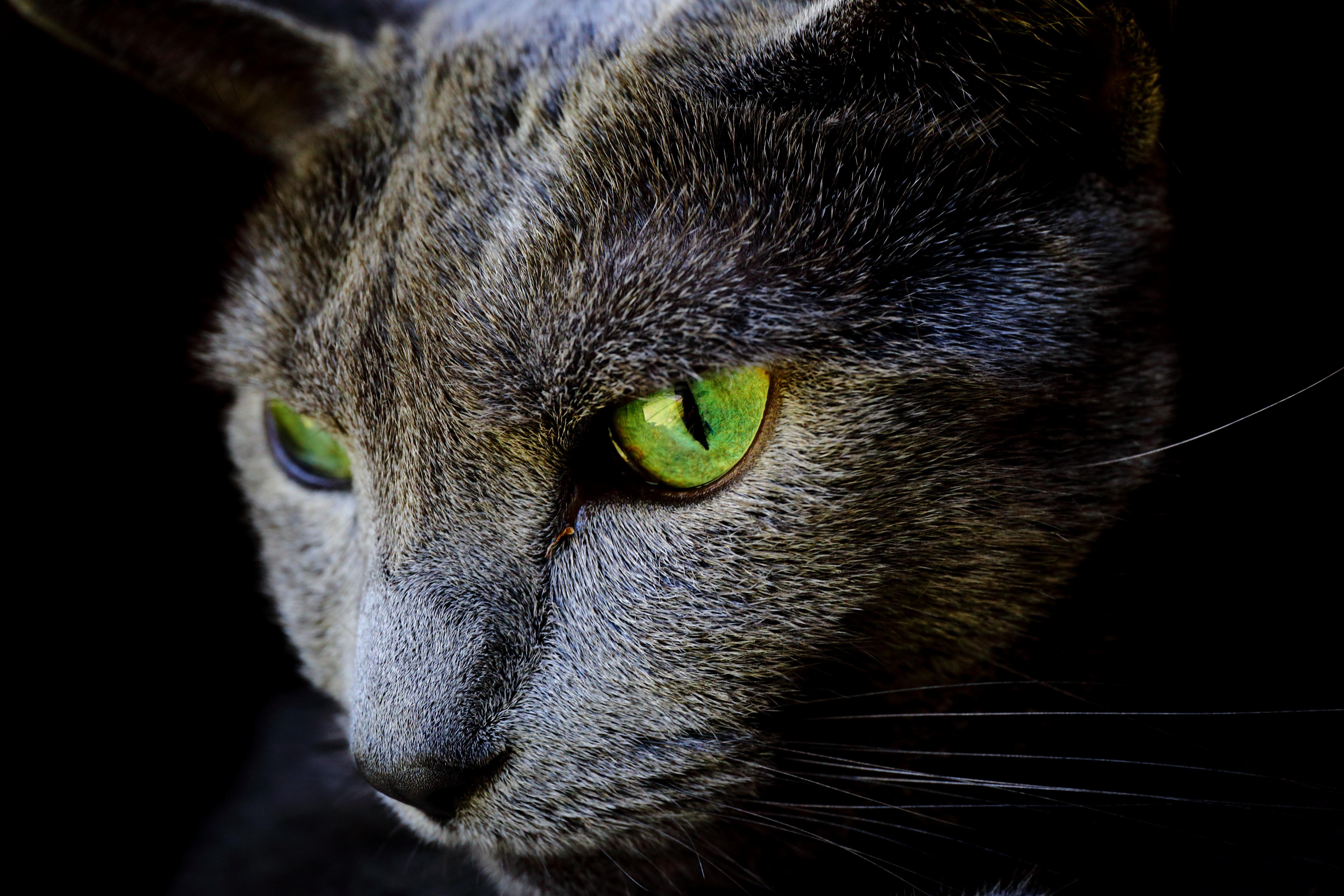 ロシアンブルーの目の色は子猫がブルー、成猫がグリーンのなぞ