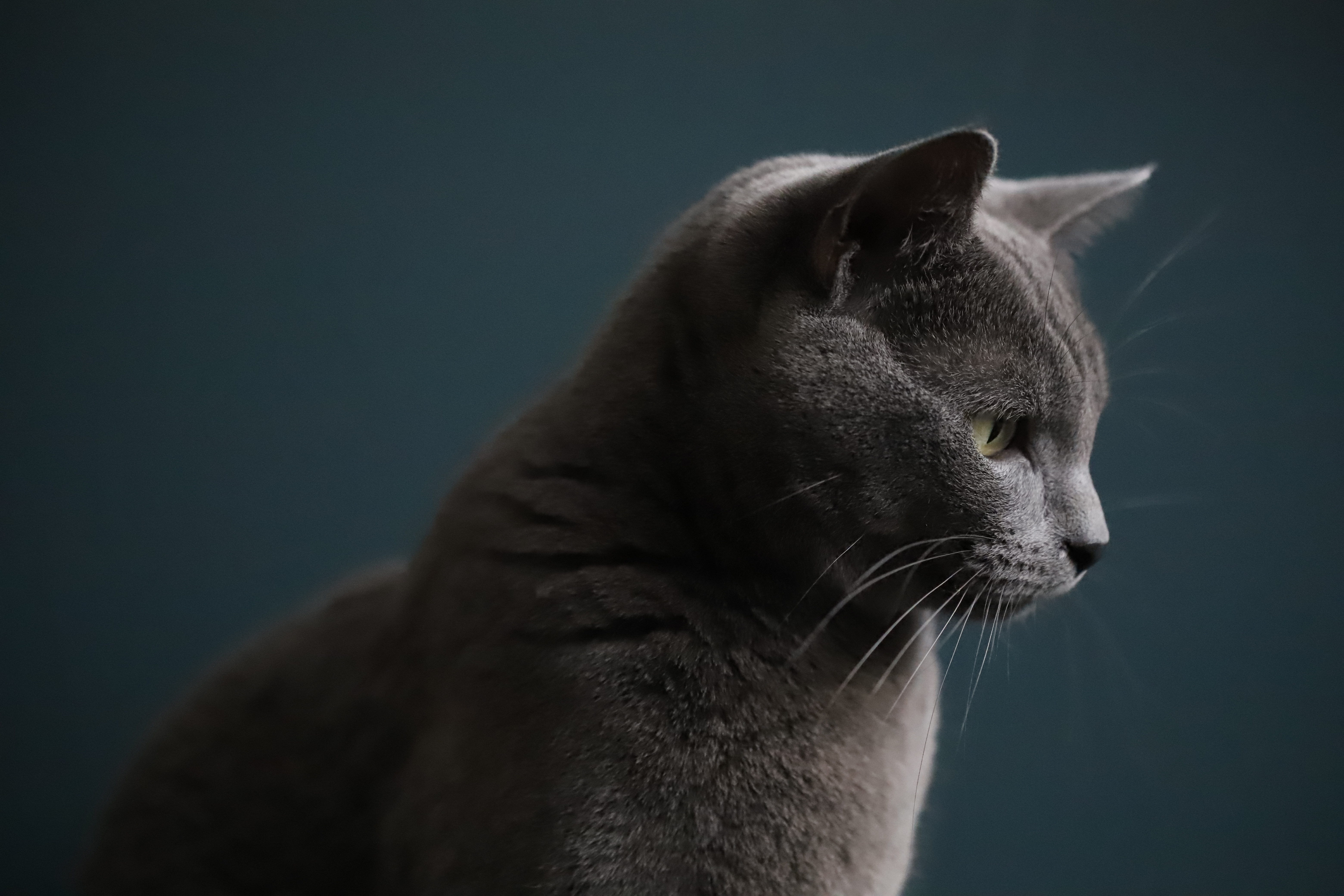 ロシアンブルーの毛色の種類ブルー、ホワイト、ブラックの値段