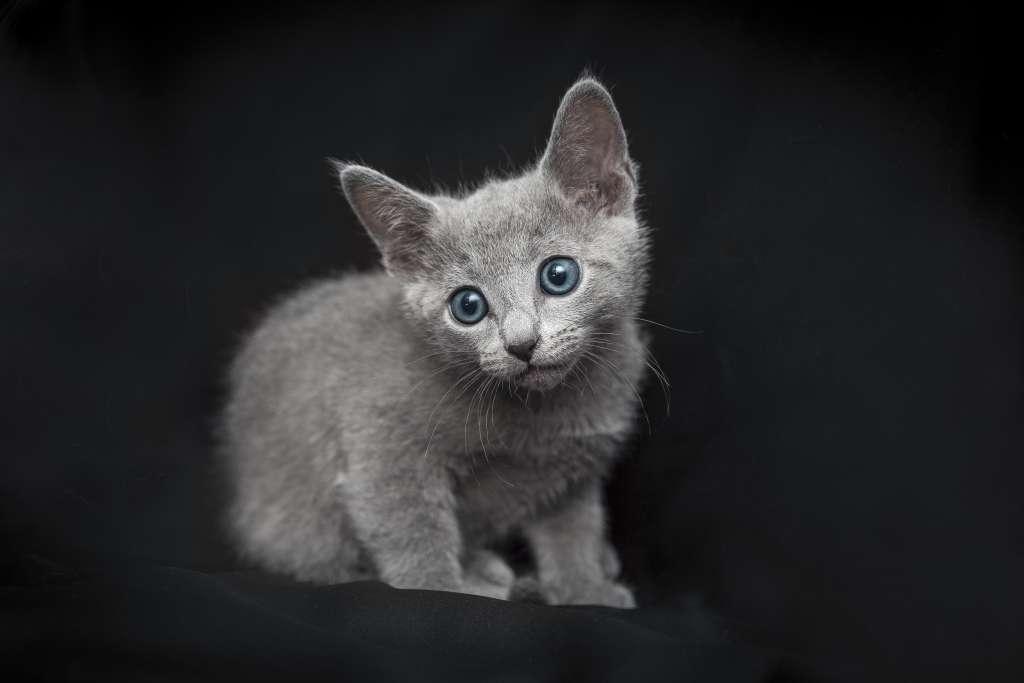 ロシアンブルーの子猫の目の色はキトンブルーと呼ばれるブルー