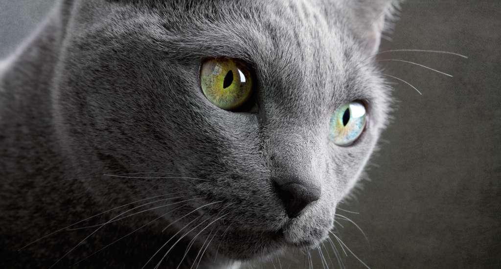 目の色が黄色がかったロシアンブルー