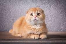 猫のかわいい動画『スコティッシュフォールド』編