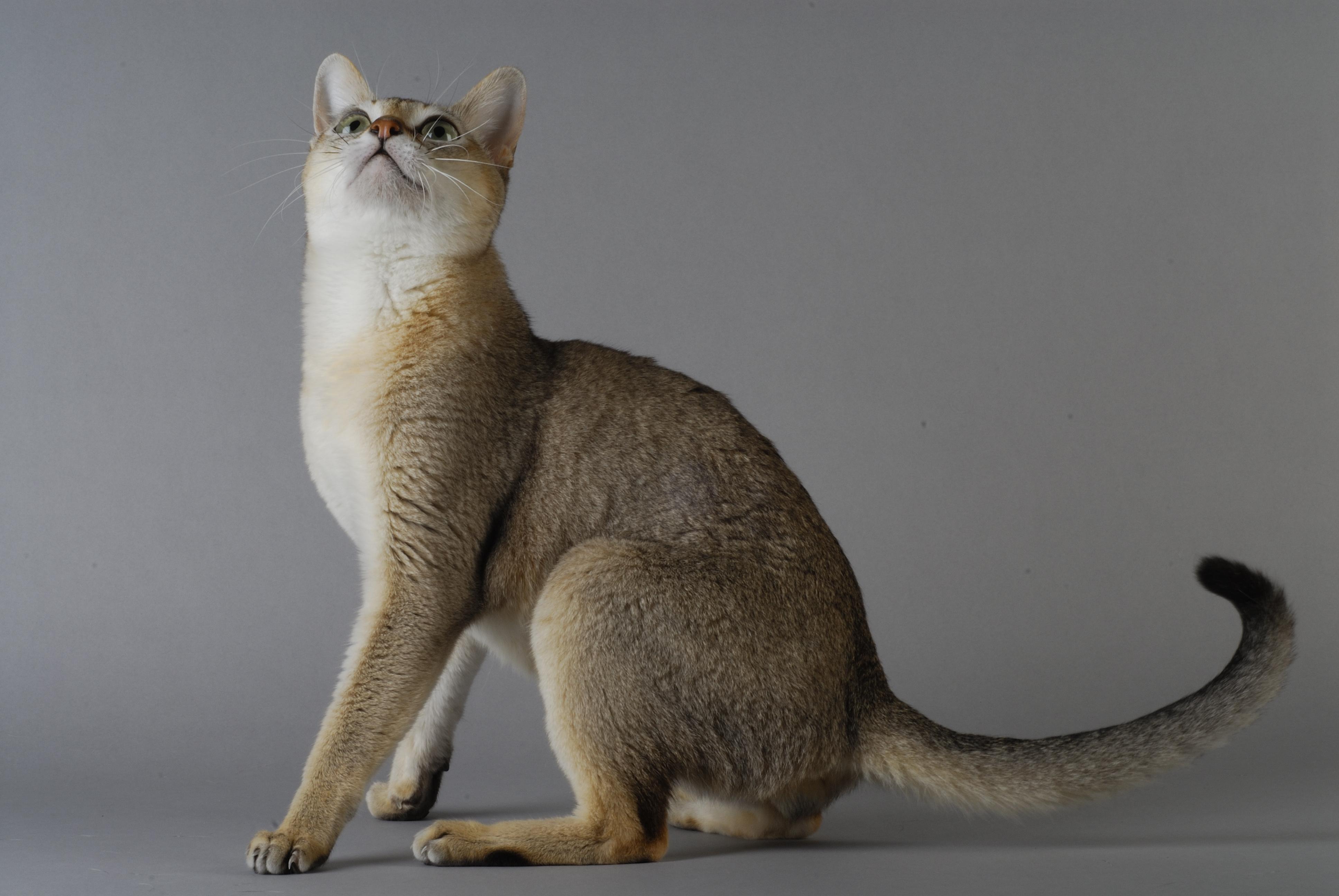 シンガプーラの特徴や性格、飼い方について
