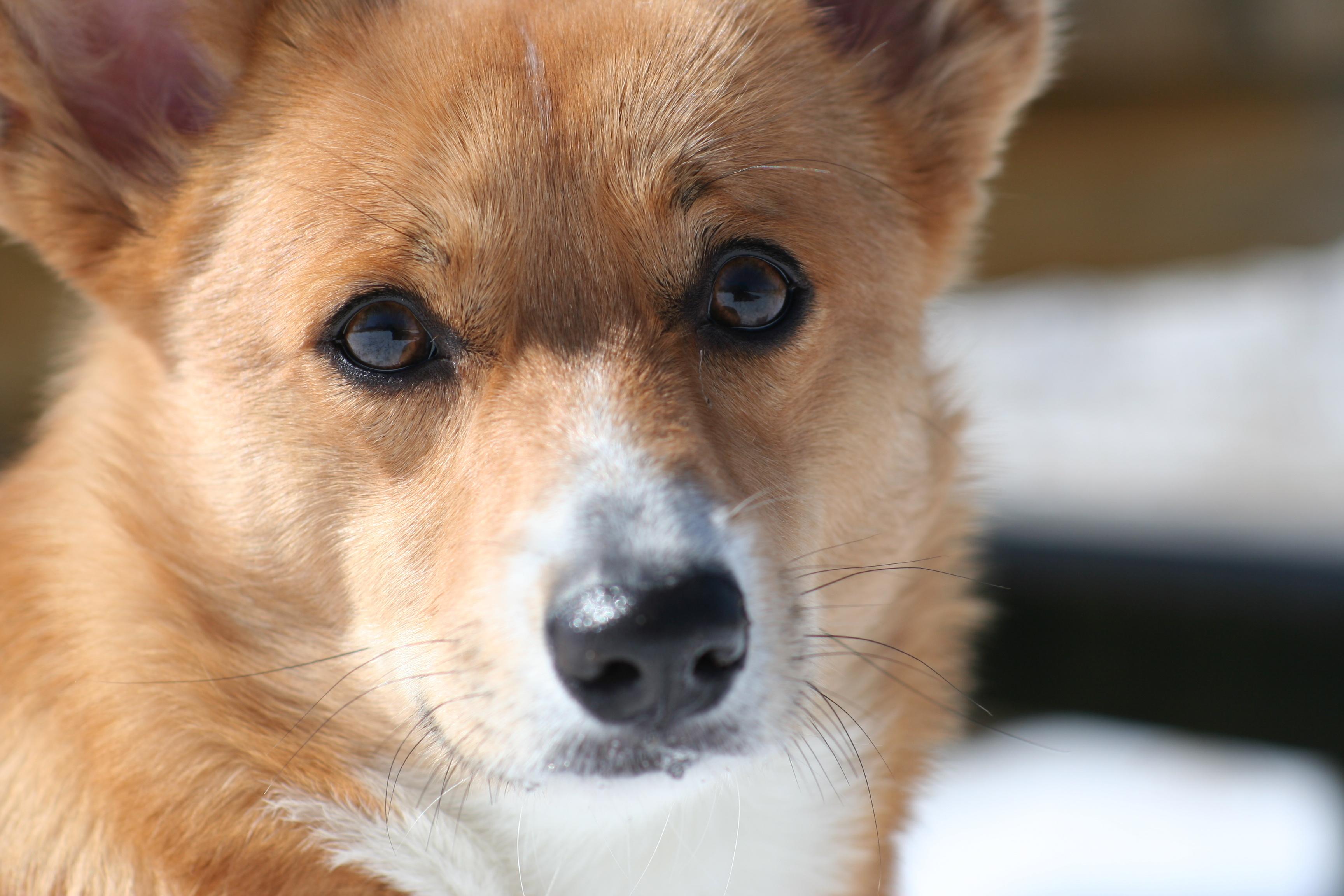 【愛犬のきもちを知ろう】愛犬がずっと見つめてくるのはなぜ?