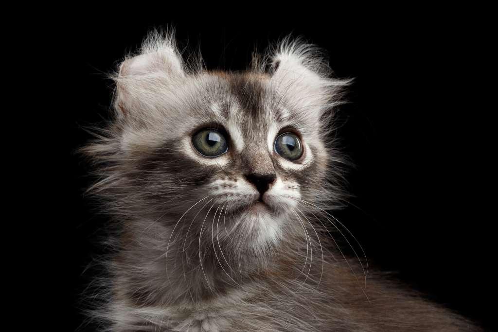 マンチカン以外の短足猫「キンカロー」