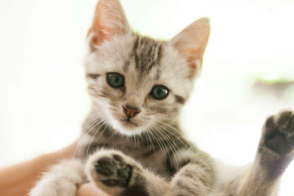 猫のかわいい動画『アメリカンショートヘア』編