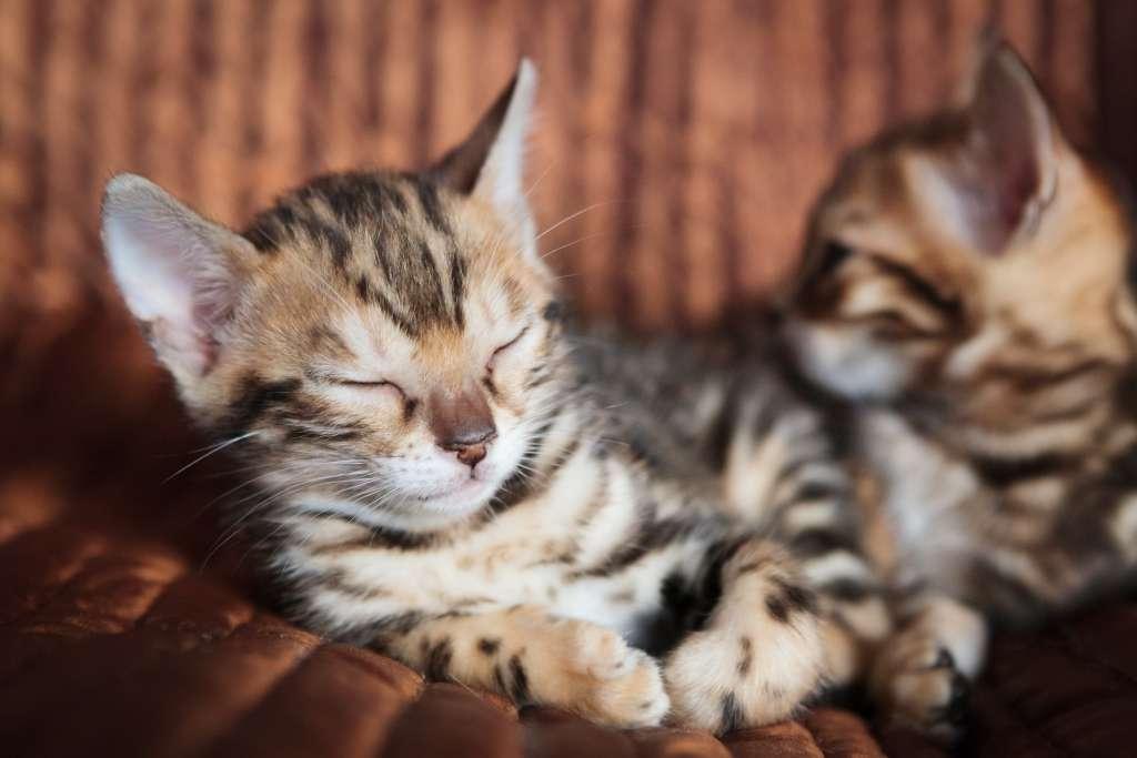 猫のかわいい動画『ベンガル』編
