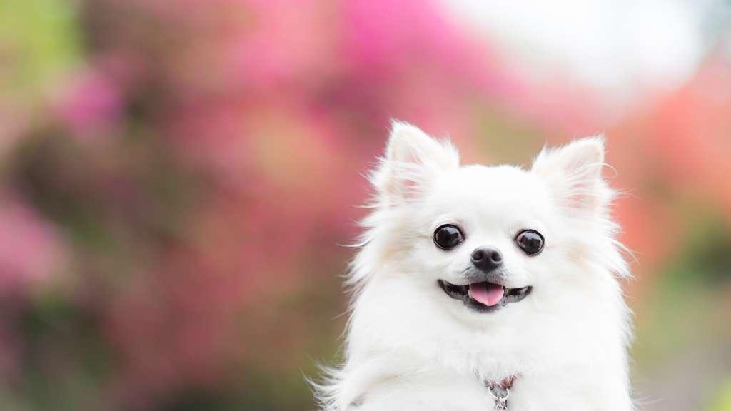 ロングコートチワワの特徴や性格、飼い方について
