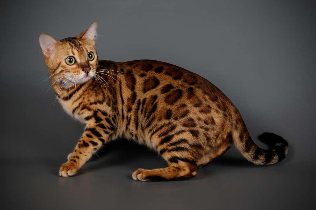 「ジェネッタ」はマンチカンとベンガルの交配によって生まれた猫種