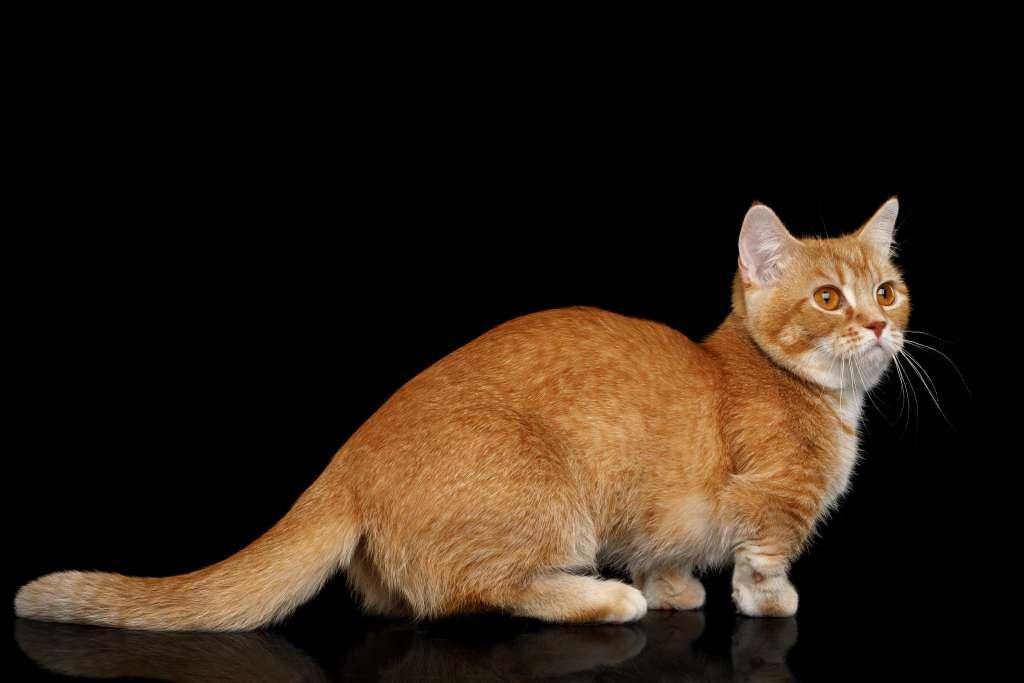 マンチカンは世界一低体高の猫種
