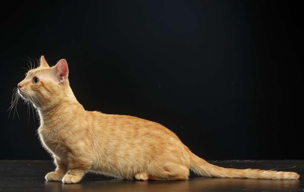 マンチカン以外にもたくさんいる短足猫の特徴や性格について