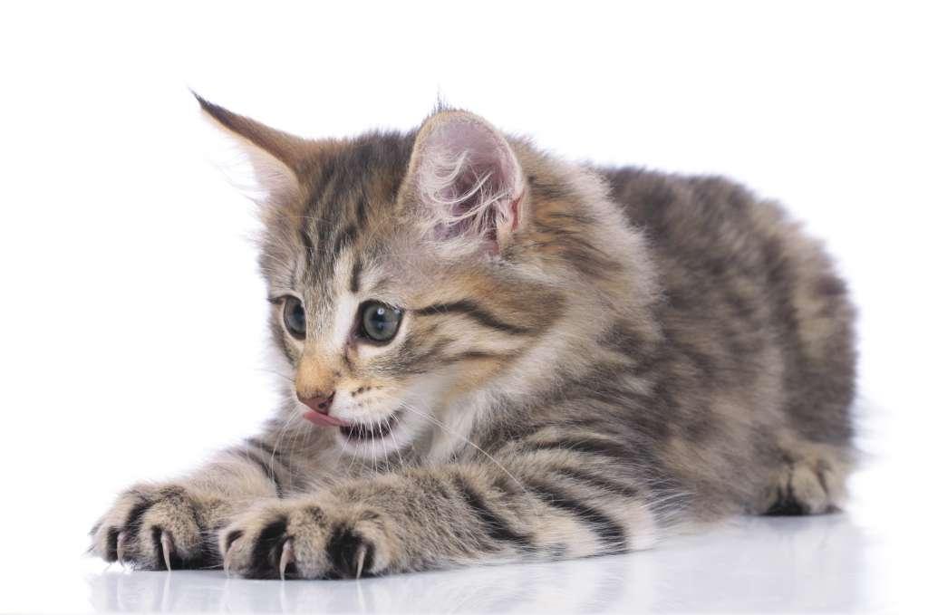 ノルウェージャンフォレストキャットの生まれたばかりの子猫の体重は140~210g