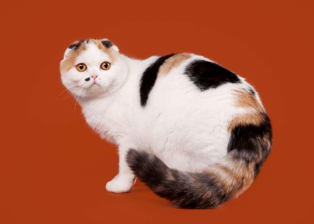 スコティッシュフォールドの人気の毛色7位は「キャリコ(三毛猫)()」