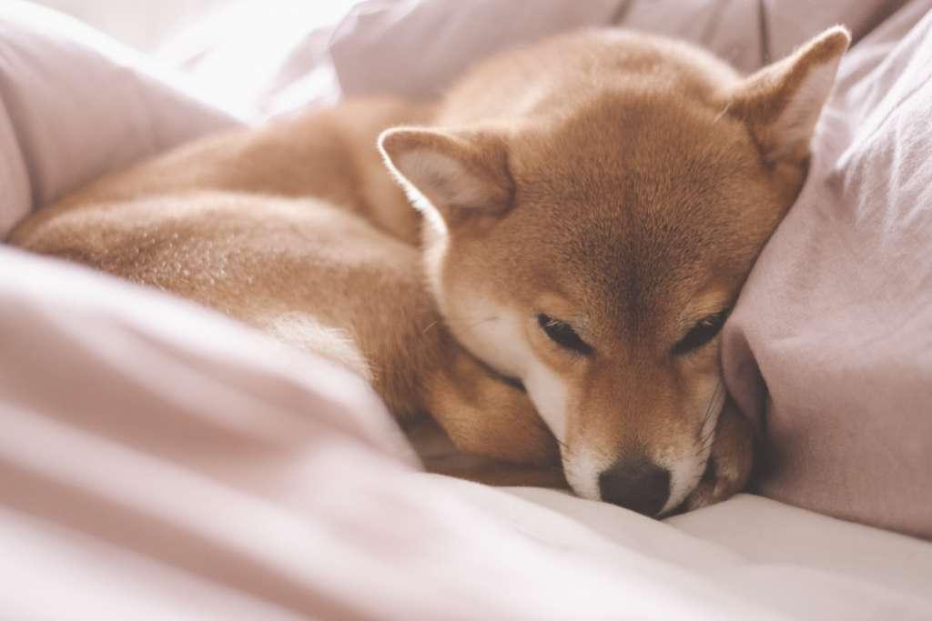 柴犬のかかりやすい病気、椎間板ヘルニアの予防と治療