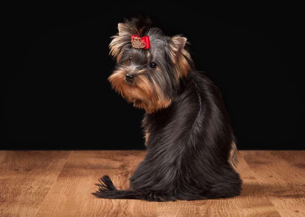ヨークシャーテリアの人気の毛色「ブラック&タン」