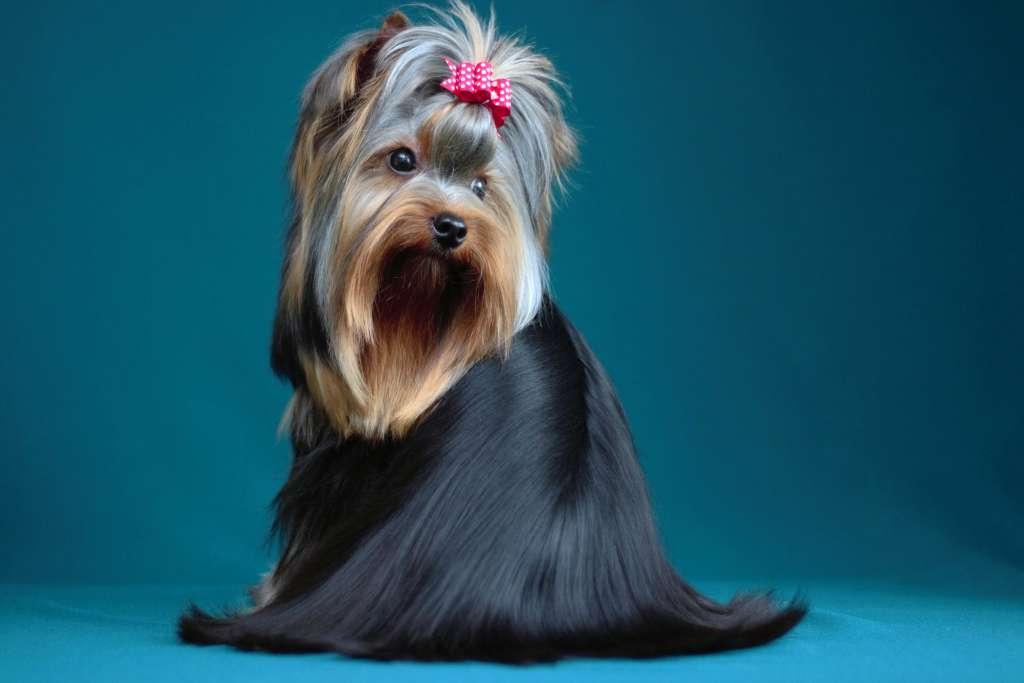 ヨークシャーテリアーの人気の毛色を写真付きでご紹介