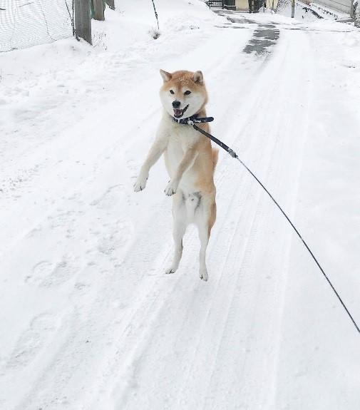 inubot回覧板の柴犬が雪の上を散歩