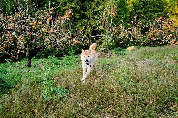 inubot回覧板の柴犬が野原をかける