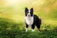 ボーダーコリーの特徴や性格、飼い方について