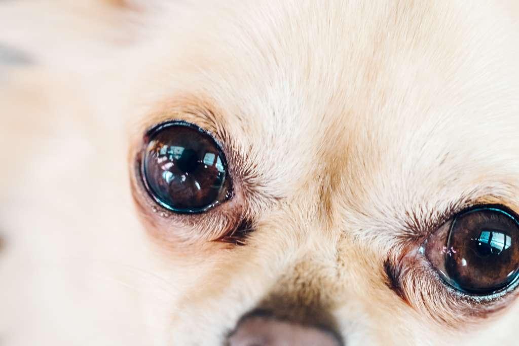ロングコートチワワのかかりやすい病気「角膜炎」の予防と治療