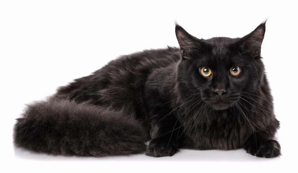 メインクーンの人気の毛色4位は「ブラック」値段は20万円