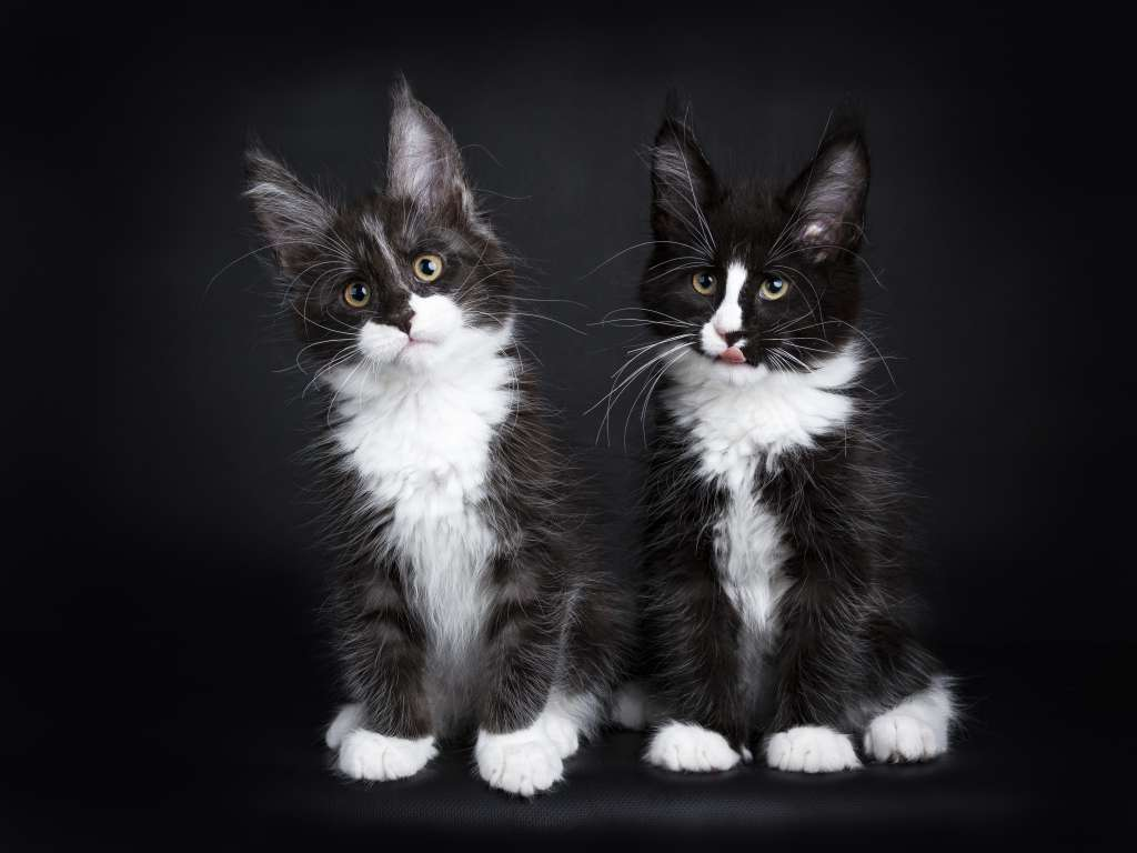 メインクーンの人気の毛色「ブラック&ホワイト」