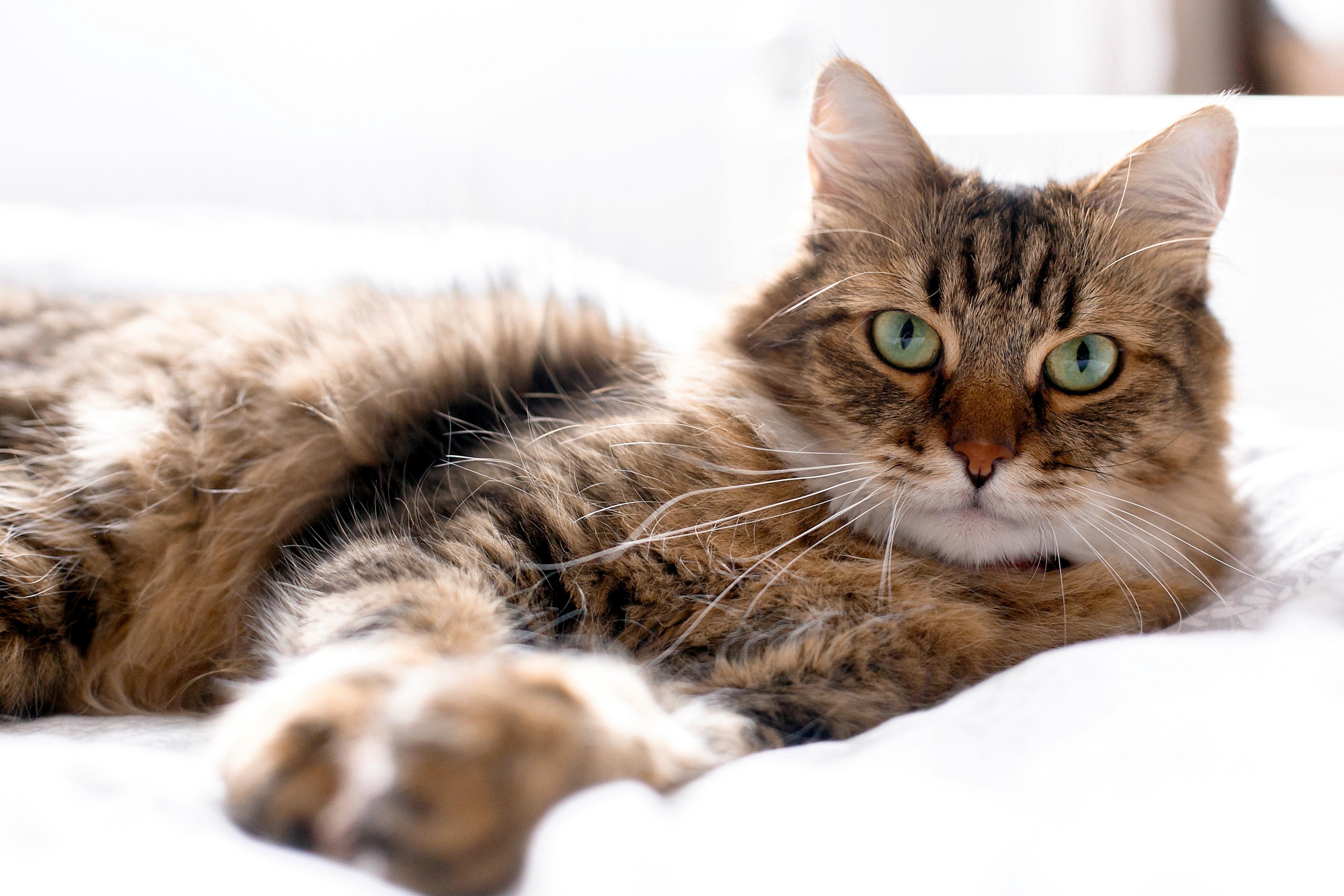猫のおもしろ動画『メインクーン』編
