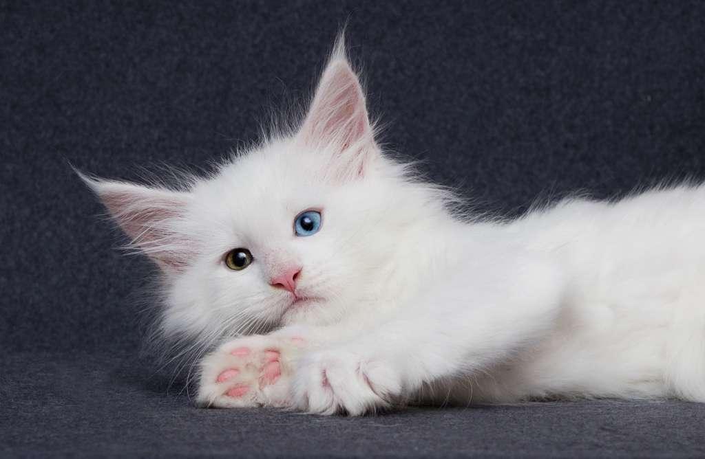 メインクーンの人気の毛色7位は「ホワイト」値段は27万円