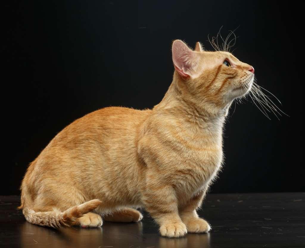 老猫のマンチカンは体重と運動量を見てフードの量と回数を調整する