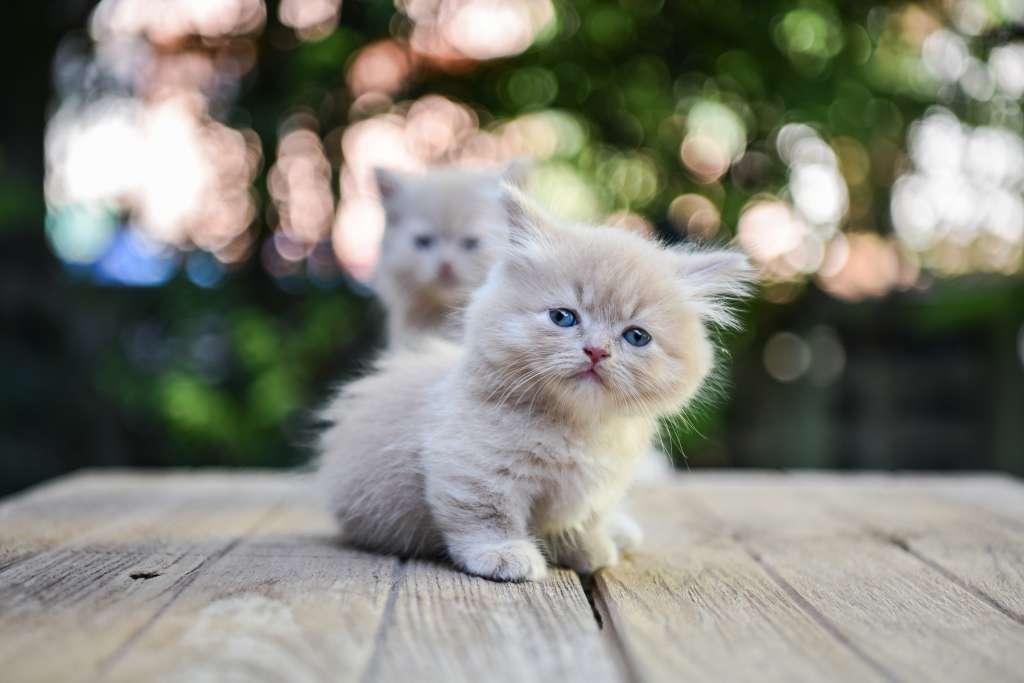 マンチカンの子猫は自由に食べさせて構わない