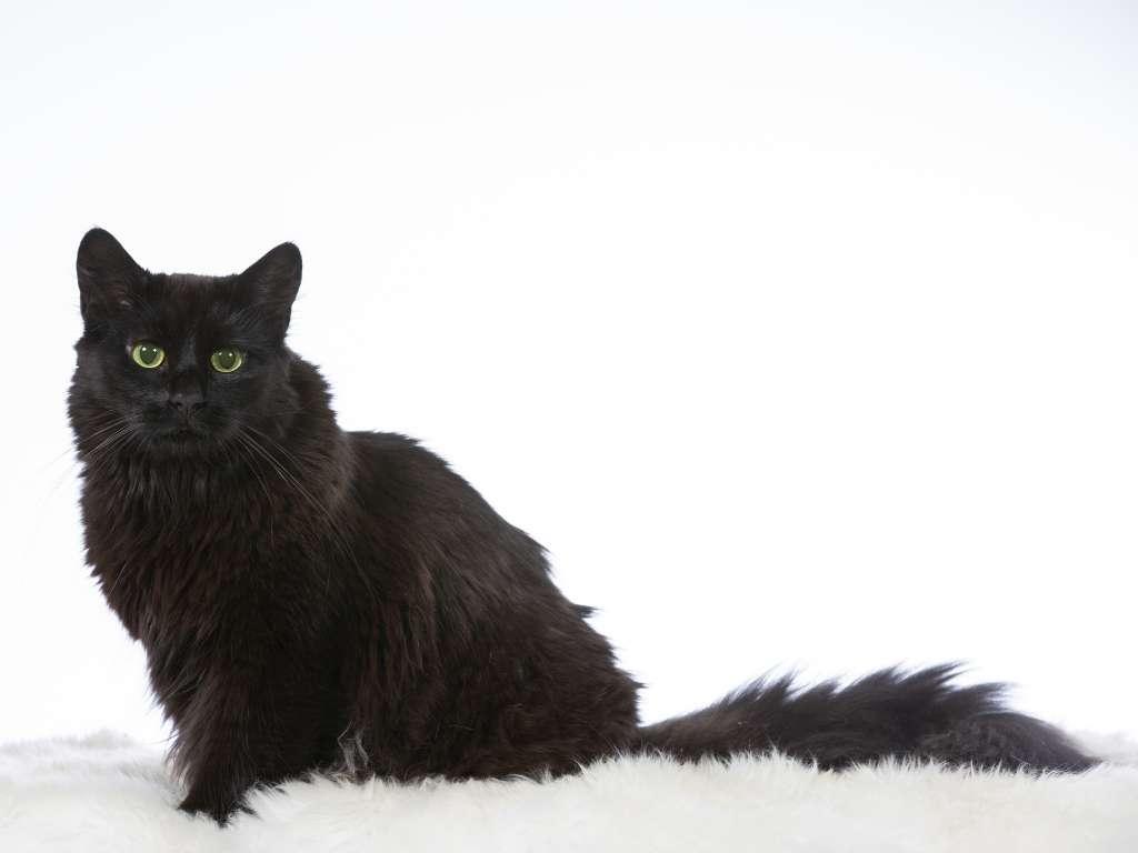 ノルウェージャンフォレストキャットの人気の毛色8位「ブラック」