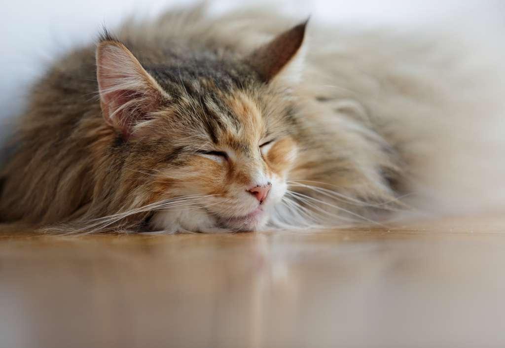 老猫のノルウェージャンフォレストキャットは運動量を見てフードの量と回数を調整する