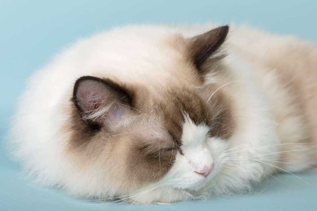成猫のラグドールにはカロリーと運動量に見合った量のフードを与える