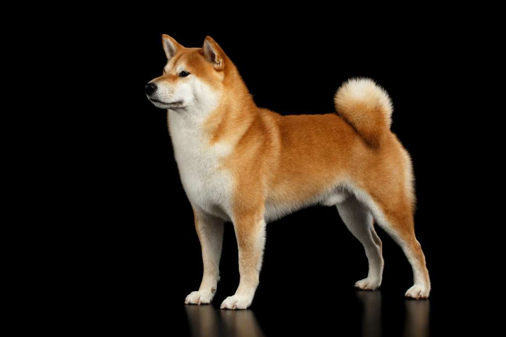 柴犬の特徴とサイズ(体重と体高)、性格