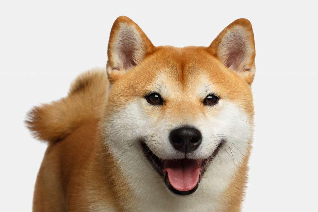 柴犬の特徴や性格、飼い方について