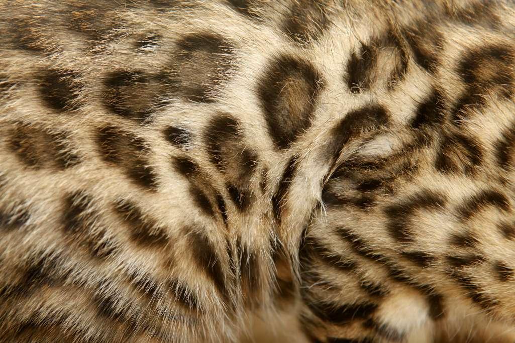 ベンガルの模様はヒョウのようでヒョウではない