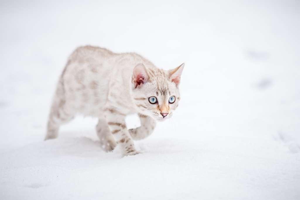 シールのベンガルの子猫
