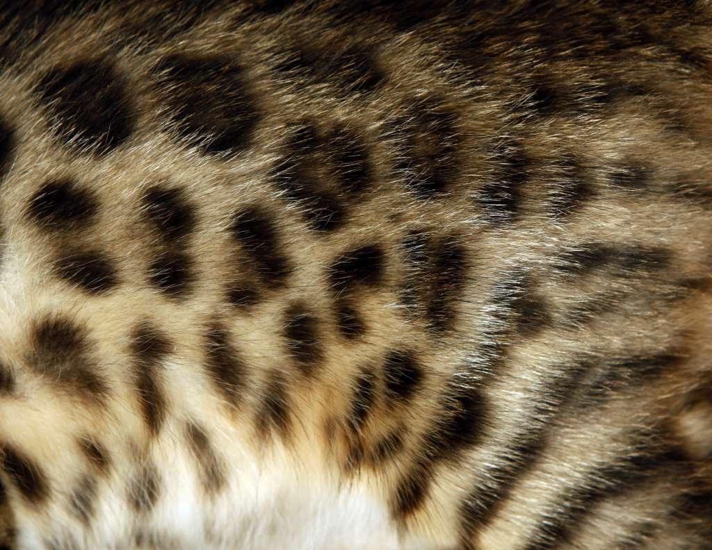 ベンガルのヒョウ柄に似たスポテッドタビー