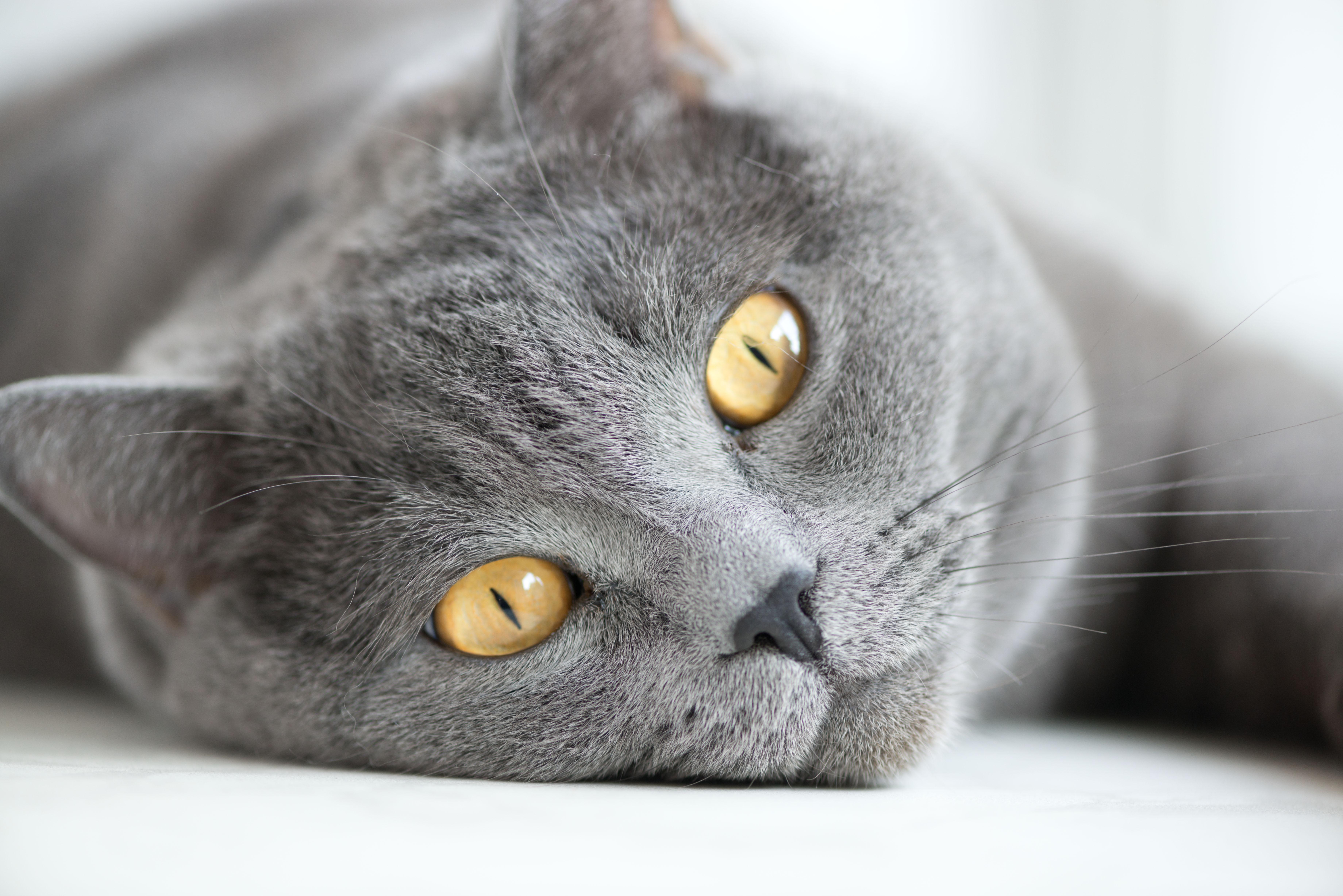 ブリティッシュショートヘアの目の色「ゴールド」