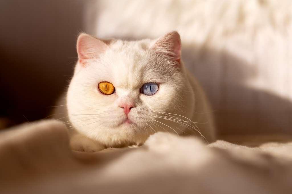 ブリティッシュショートヘアの目の色「オッドアイ」