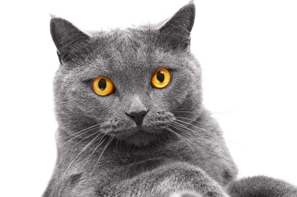 ブリティッシュショートヘアの目の色「オレンジ」