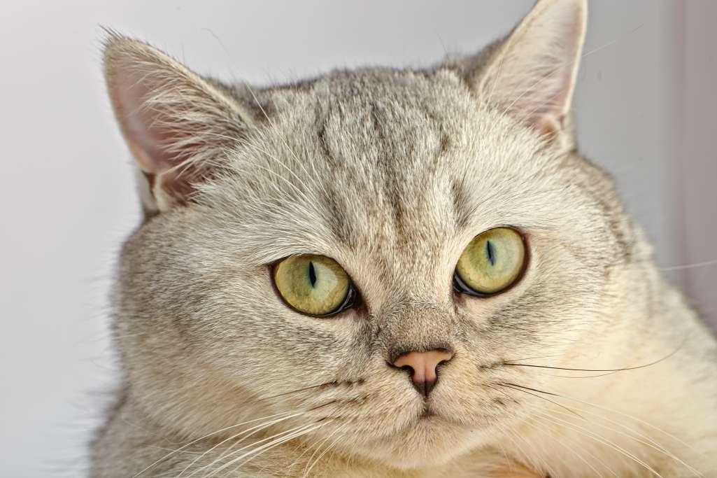 ブリティッシュショートヘアの目の色「イエロー」