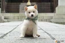 二十三代目・豆助は白柴犬!「二代目和風総本家」の新マスコット犬の豆助は小っちゃな体で元気いっぱいのアスリート犬!10月10日から登場。