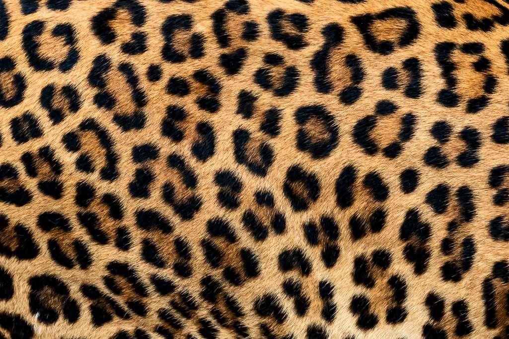 ヒョウの体には丸い形をしたブチ模様が等間隔