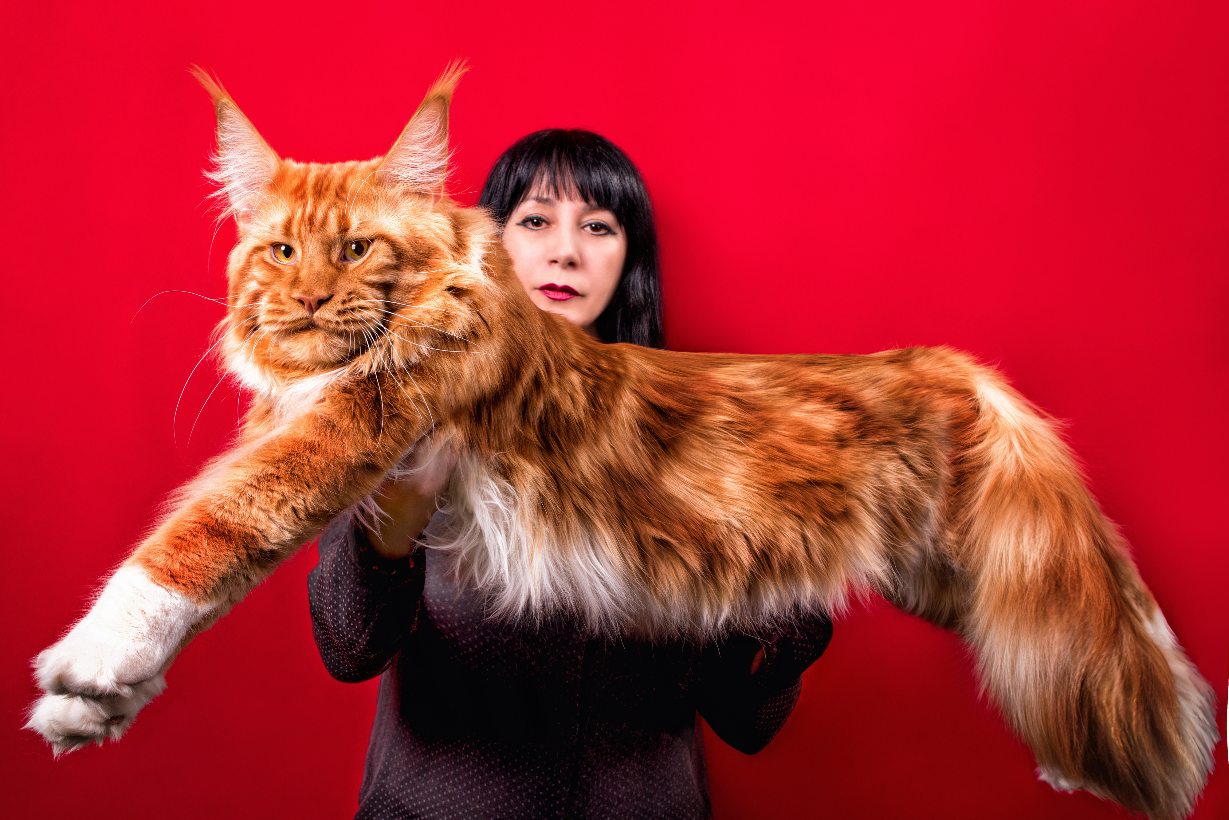 成猫のメインクーンの体長は1m