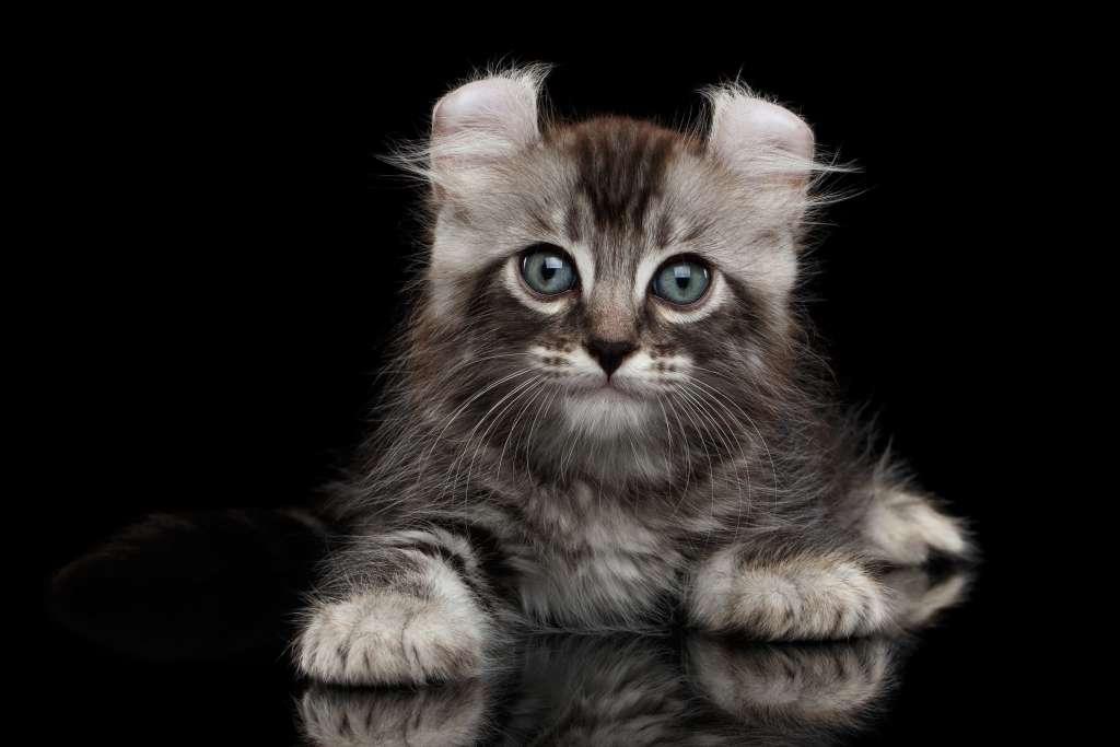 アメリカンカールの耳は唯一無二! 多くの愛猫家を魅了するキュートな耳
