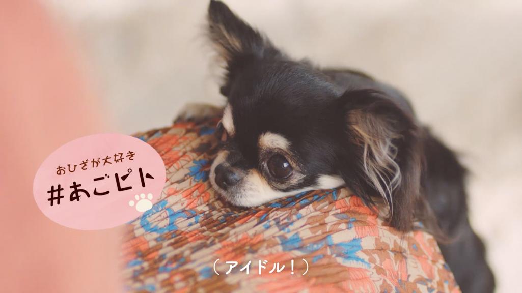 """#愛犬ほっこりあるある(1)""""おひざが大好き""""『#あごピト』"""